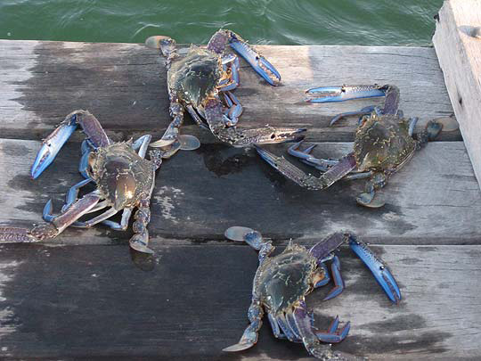 Catch Mandurah's Blue Manna crabs from our jetty