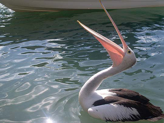 Mandurah Pelican visits our jetty to check out our catch of the day