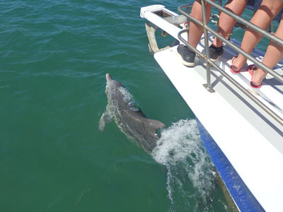 Dolphins swimming alongside boat