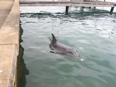 Mandurah dolphin swims under our jetty